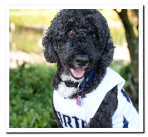 fluffy black dog with white jersey on