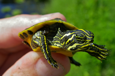 young red eared slider