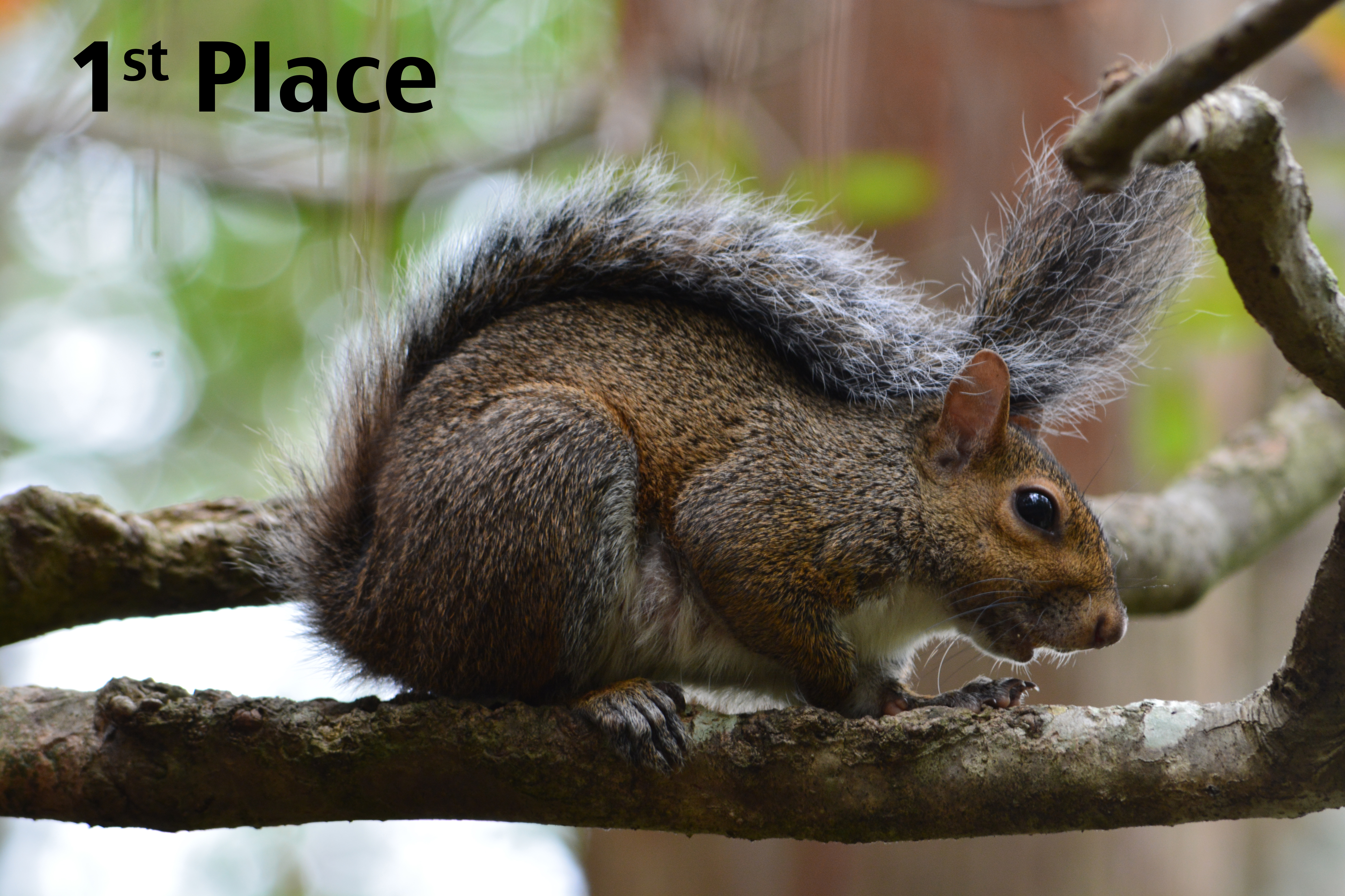 First place photo, a squirrel on a tree branch