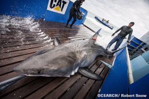 Photo courtest of OCEARCH