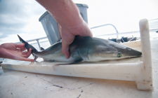 A UNF biology student measures one of the juvenile sharks caught in Nassau Sound near the Florida-Georgia border.