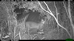 Surveillance footage of the bobcat using one of the culverts.