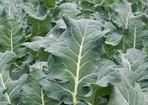An image of collard greens