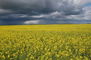 Canola flowers in a field