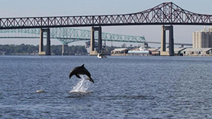 A dolphin jumping in the St. Johns River