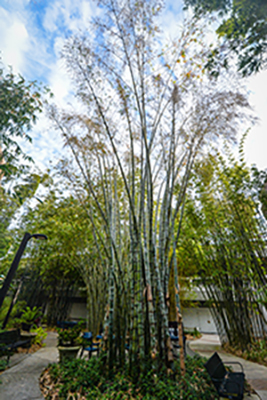 Giant Parker Bamboo at UNF