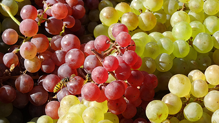 Grapes with a variety of colors