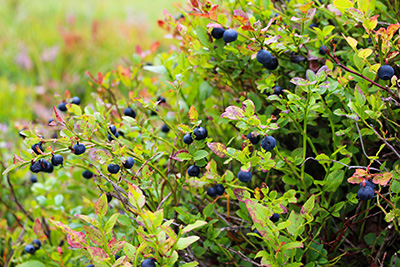 Blueberries on a bush waiting to be picked
