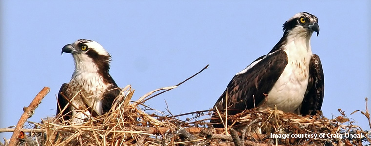 Ospreys in Nest, courtesy of Craig Oneal